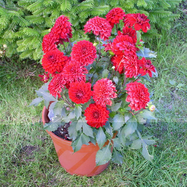 dahlias in pots images